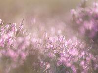 Spelen met licht en de bloeiende heide. © Sandy Spaenhoven