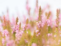 De struikhei staat in bloei. © Sandy Spaenhoven