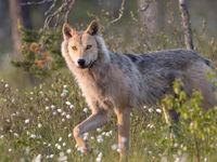 Een wolf passeert vlak voor de hut! © Rudi Debruyne