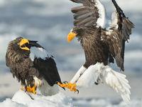 Een koppel kibbelende Stellers zeearenden. © Yves Adams