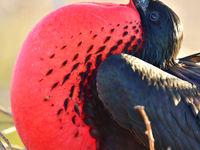 De magnificent frigatebird is er eentje die je nog kent uit de natuurdocu's. Kijk die keelzak eens! © Yves Adams