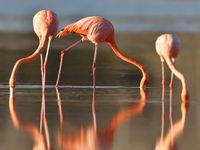 De Amerikaanse flamingo is heel wat dieper rood gekleurd dan de Europese, en de vorm op de Galapagos is een aparte ondersoort. © Yves Adams