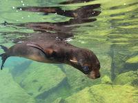 Galapagos zeeberen zijn erg pelagische zoogdieren en vertrouwen erg op het zicht, vandaar hun grote ogen. © Yves Adams