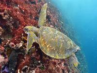 Het zijn niet enkel de leguanen maar tevens de groene zeeschildpadden die zich tegoed doen aan de algen. © Yves Adams