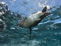 De Galapagospinguïn  is de noordelijkst broedende pinguïn op onze planeet, een unicum. © Yves Adams