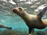 Galapagoszeeleeuwen zijn erg nieuwsgierig en komen graag even kijken! © Yves Adams
