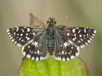 Een aardbeivlinder toont z'n talrijke spikkeltjes. © Billy Herman