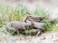 Gladde slangen vind je enkel op droge zandgronden of kalkhellingen, en de Gaume heeft deze allebei. © Billy Herman