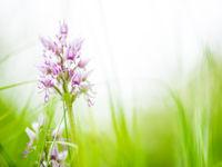 Bloeiende aapjesorchissen behoren tot de mooiste flora van ons land. © Billy Herman