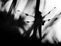 Een viervlek in zwart-wit. We besteden heel wat aandacht aan libellen en waterjuffers, want de Gaumestreek heeft er veel te bieden! © Billy Herman