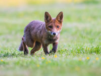 Een dichte ontmoeting met een jong vosje... © Billy Herman