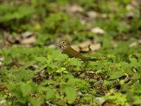 Ovenbird. © Geert Beckers