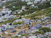 Twee mannetjes Kaukasisch korhoen, een van de meest gelokaliseerde soorten hoenders op de planeet. © Billy Herman