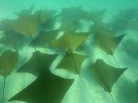 Golden rays vind je vooral in scholen terwijl ze bewegen over de zeebodem, vaak synchroon! © Yves Adams