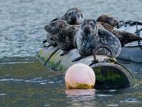 Laat nooit je boot onbewaakt achter in British-Colombia, want de kans dat er zeehonden in gaan liggen is groot. © Joachim Bertrands