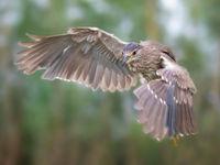 Een jonge kwak in de vlucht. © Rudi Debruyne