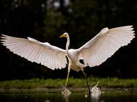 Een grote zilverreiger spreidt zijn vleugels. © Rudi Debruyne