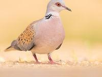 Een zomertortel, een inmiddels erg bedreigde vogelsoort. © Rudi Debruyne