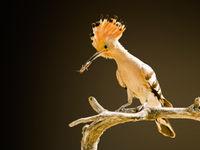 Een hop met prooi, nabij de nestplaats. © Rudi Debruyne