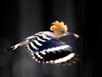 Een vluchtfoto van de hop met prooi, op weg naar de nestplaats. © Rudi Debruyne