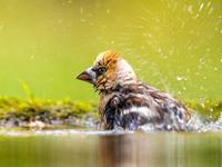 Een adulte appelvink wast zich aan het water. © Rudi Debruyne