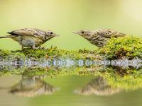 Boompiepers aan de voederplaats! © Rudi Debruyne
