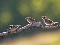Ringmussen zijn een typische soort van het platteland. © Rudi Debruyne