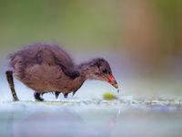 Het zijn echte nestvlieders en ze leren dan ook snel hoe ze hun plan moeten trekken. © Rudi Debruyne