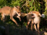 Twee vosjes die aan het spelen zijn op de oever. © Rudi Debruyne