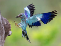 Een scharrelaar brengt voedsel naar het nest. © Rudi Debruyne
