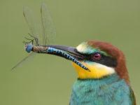 Close-up van een bijeneter met een blauwe glazenmaker in de bek. © Rudi Debruyne