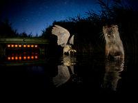 Een otter en kwak voor de kijkhut. © Bence Máté
