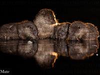 Een familie otters bij het nachtlicht. © Bence Máté