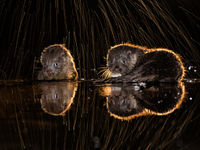 Twee otters tijdens de nachtfotografie. © Bence Máté