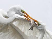 Vol de poisson © Marc Costermans