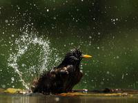 Etourneau dans son bain © Marc Costermans