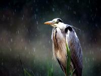Héron cendré sous la pluie © Marc Costermans
