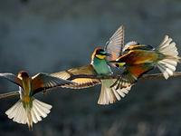 L'atterrissage des guêpiers © Marc Costermans