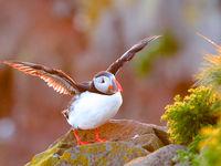 Papegaaiduiker nabij het nest. © Johan Verbanck