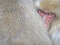 Een jonge Japanse makaak schuilt voor de kou in Jigokudani Monkey Park, Japan. © Jeffrey Van Daele