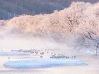 Red-crowned cranes te Otowabashi bridge, Hokkaido.  © Jeffrey Van Daele