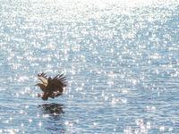 Een jagende zeearend in Rausu, Hokkaido. © Jeffrey Van Daele