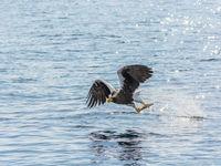 Bingo! Deze Stellers zeearend heeft prijs in Rausu, Hokkaido. Jeffrey Van Daele