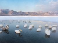 Wilde zwanen bij een bevroren meer. © Jeffrey Van Daele