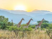 Giraffen met op de achtergrond de Zuid-Afrikaanse Drakensbergen. © Jeffrey Van Daele
