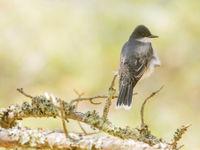 Eastern kingbird. © Johannes Jansen