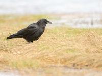 Fish crow. © Johannes Jansen