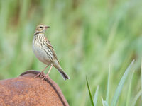 Pechora pipit is een dwaalgast in West-Europa maar hier broeden ze gewoon. © Billy Herman