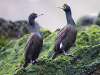 Een paartje red-faced cormorants. © Billy Herman