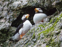Een paartje horned puffins. © Billy Herman